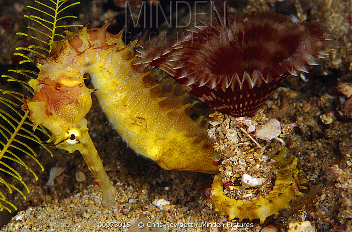 Thorny Seahorse (Hippocampus histrix) and Feather Duster Worm (Sabellastarte indica), Indonesia  -  Chris Newbert