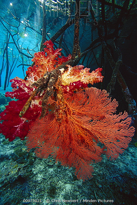 Soft Coral (Dendronephthya sp) and Sea Fan (Melithaea sp) on mangrove root, Indonesia  -  Chris Newbert