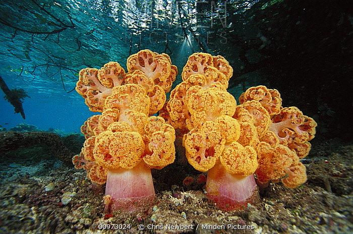 Soft Coral (Dendronephthya sp) growing near mangrove roots, Indonesia  -  Chris Newbert