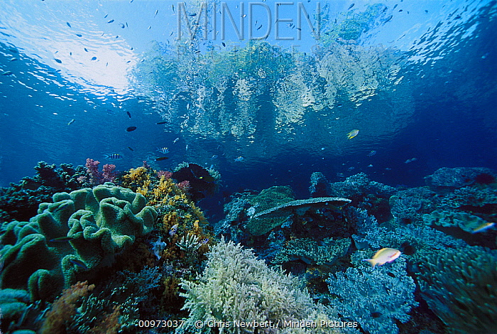 Coral reef with stony and soft corals and island rising through surface in background, Indonesia  -  Chris Newbert