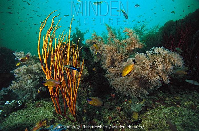 Soft Coral (Ellisella sp) and Black Coral (Antipathes sp), Indonesia  -  Chris Newbert