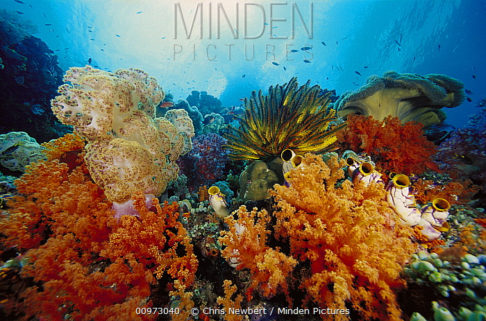 Soft Coral (Dendronephthya sp) and (Scleronephthya sp), Feather Star (Oxycomanthus bennetti) crinoids and Ink-spot Ascidians (Polycarpa aurata) in reef scene, Indonesia  -  Chris Newbert