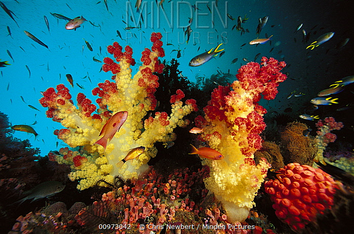 Soft Coral (Dendronephthya sp) and Soft Coral (Tubastraea sp) reef scenic with schooling fish, Indonesia  -  Chris Newbert