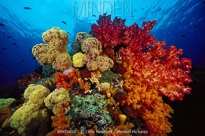 Soft Coral (Dendronephthya sp) and Soft Coral (Scleronephthya sp) reef, Indonesia  -  Chris Newbert