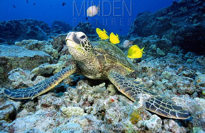 Green Sea Turtle (Chelonia mydas) being cleaned by reef fish, Hawaii  -  Norbert Wu