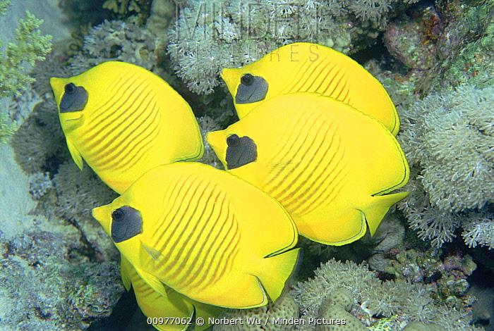 Masked Butterflyfish (Chaetodon semilarvatus) endemic to Red Sea, Egypt  -  Norbert Wu