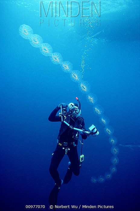 Scuba diver and salp chain showing asexual reproduction of salps, southern California  -  Norbert Wu