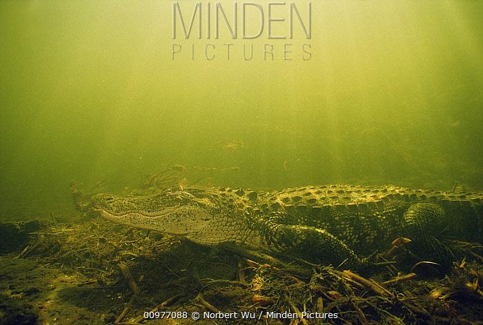 American Alligator (Alligator mississippiensis) underwater, Everglades National Park, Florida  -  Norbert Wu