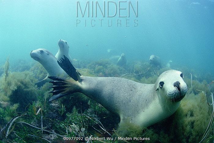 Australian Sea Lion (Neophoca cinerea) group swimming over seaweed, South Australia  -  Norbert Wu