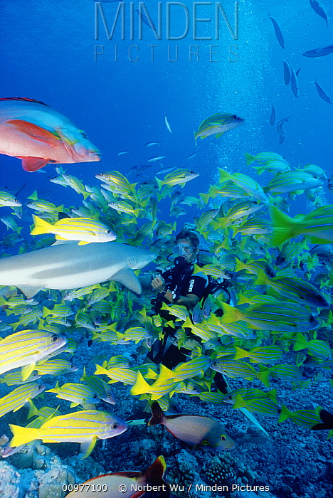 Shark feeding by Bathy's Club dive master in Lagoon of Moorea, French Polynesia  -  Norbert Wu