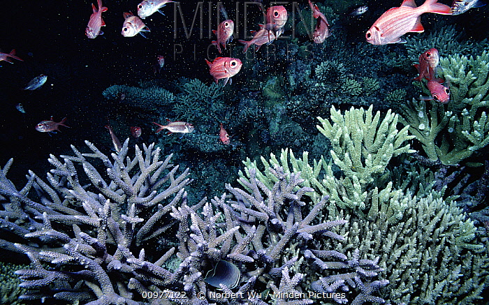 Staghorn Coral spawning, coral colonies release eggs and sperm one night a year after the late spring's full moon, Great Barrier Reef  -  Norbert Wu