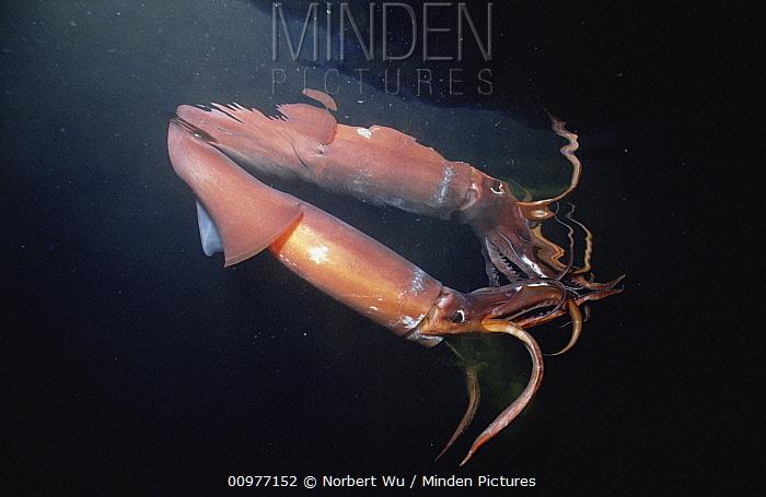 Humboldt Squid (Dosidicus gigas) reaches five feet and 50 pounds, a voracious carnivore, Sea of Cortez, Baja California, Mexico  -  Norbert Wu