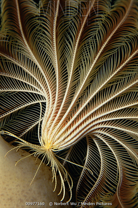 Feather Star (Promachocrinus kerguelensis) primitive relative of the Starfish, highly mobile, mouth is located in center of ring of arms, Antarctica  -  Norbert Wu