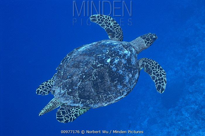 Green Sea Turtle (Chelonia mydas) swimming through open ocean, Palau  -  Norbert Wu