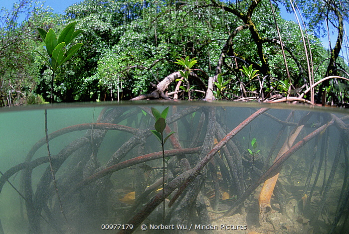 Red Mangrove (Rhizophora mangle) roots create sediment filter to clear water, young trees rise up from salt water, Palau  -  Norbert Wu