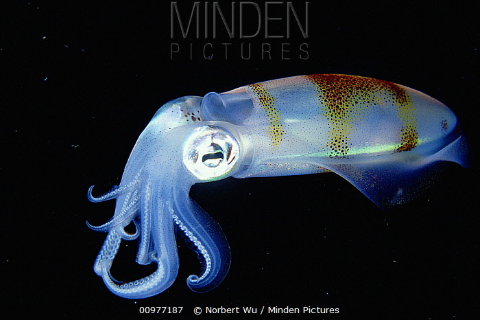 Bigfin Reef Squid (Sepioteuthis lessoniana) active at night, Sulawesi, Indonesia  -  Norbert Wu