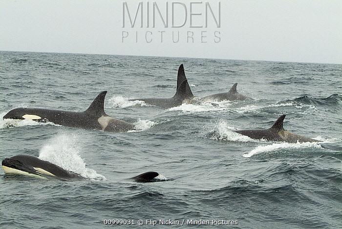 Orca (Orcinus orca) pod surfacing and spouting, southeast Alaska  -  Flip  Nicklin