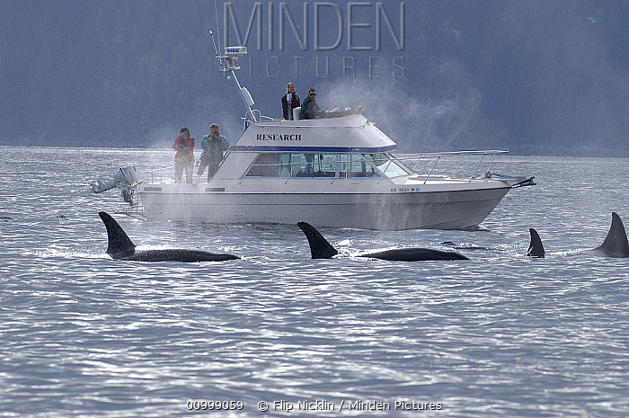 Orca (Orcinus orca) whale watching, southeast Alaska  -  Flip  Nicklin