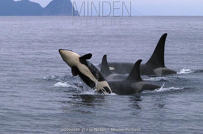 Orca (Orcinus orca) adult and breaching calf, southeast Alaska  -  Flip  Nicklin