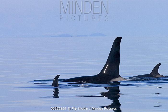 Orca (Orcinus orca) pod with calf surfacing, southeast Alaska  -  Flip  Nicklin