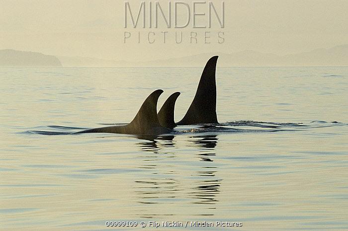 Orca (Orcinus orca) pod surfacing, southeast Alaska  -  Flip  Nicklin