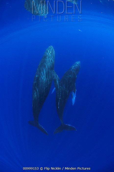 Humpback Whale (Megaptera novaeangliae) breathholding pair, Humpback Whale National Marine Sanctuary, Maui, Hawaii - notice must accompany publication; photo obtained under NMFS permit 0753-1599  -  Flip  Nicklin