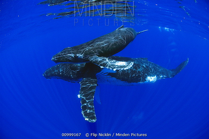 Humpback Whale (Megaptera novaeangliae) mother and yearling, Humpback Whale National Marine Sanctuary, Maui, Hawaii - notice must accompany publication; photo obtained under NMFS permit 0753-1599  -  Flip  Nicklin