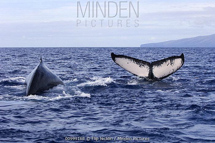 Humpback Whale (Megaptera novaeangliae) dorsal fin and tail, Humpback Whale National Marine Sanctuary, Maui, Hawaii - notice must accompany publication; photo obtained under NMFS permit 0753-1599  -  Flip  Nicklin