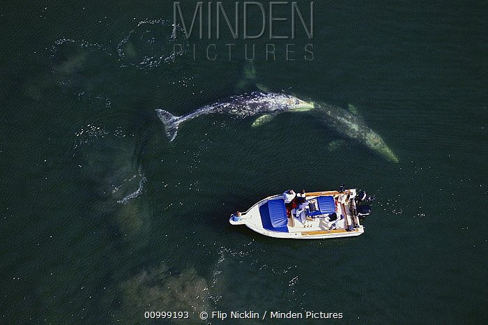 Gray Whale (Eschrichtius robustus) surfacing near private boat with people watching near Tofino, Vancouver Island, Canada  -  Flip  Nicklin