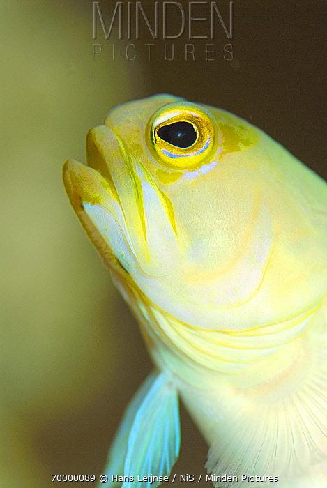 Yellowhead Jawfish (Opistognathus aurifrons), Cayman Islands, Caribbean Sea  -  Hans Leijnse/ NiS