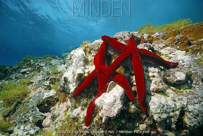 Red Starfish (Echinaster sepositus) pair on reef, Mediterranean Sea  -  Hans Leijnse/ NiS
