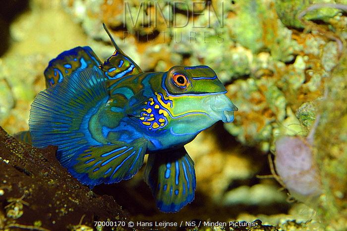 Mandarinfish (Synchiropus splendidus), Indonesia  -  Hans Leijnse/ NiS