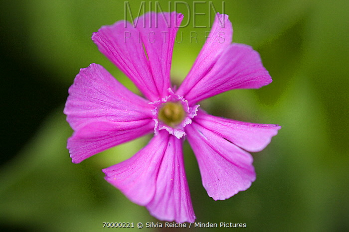 Red Campion (Silene dioica) flower, Hoogeloon, Noord-Brabant, Netherlands  -  Silvia Reiche