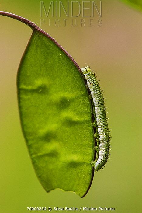 Orange Tip (Anthocharis cardamines) butterfly caterpillar on seed pod, Hoogeloon, Noord-Brabant, Netherlands  -  Silvia Reiche