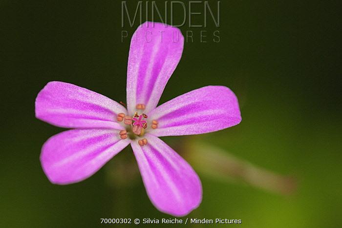 Herb Robert Geranium (Geranium robertianum) flowers, Hoogeloon, Noord-Brabant, Netherlands  -  Silvia Reiche
