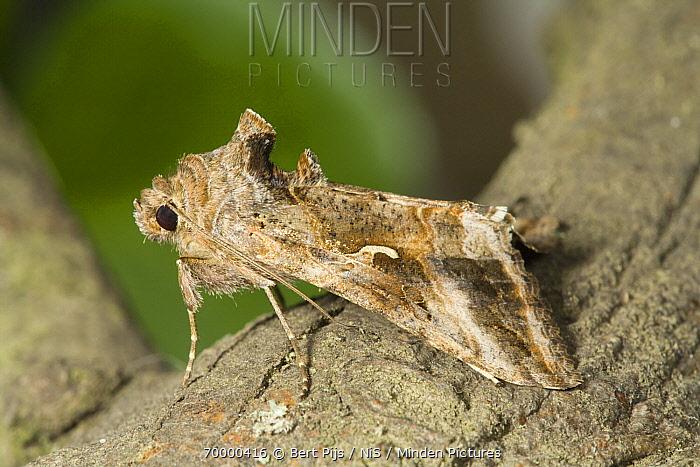 Gamafly (Autographa gamma) moth, Den Helder, Noord-Holland, Netherlands  -  Bert Pijs/ NIS