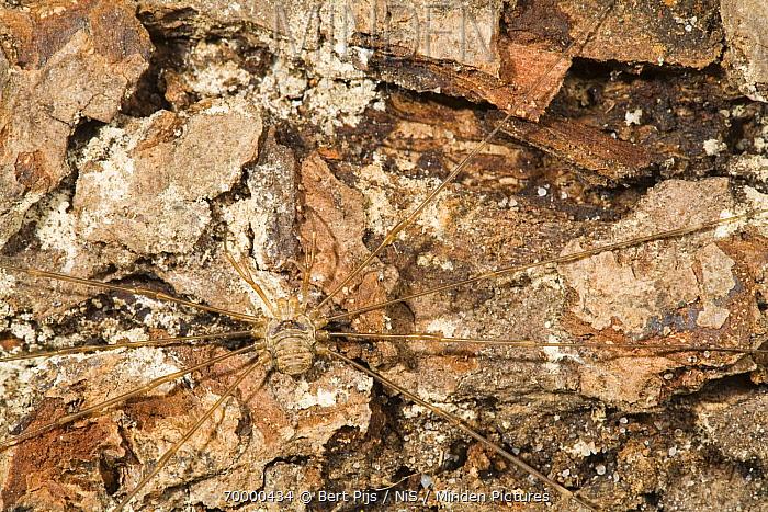 Harvestman (Dicranopalpus ramosus) camouflaged on rocks, Eerbeek, Gelderland, Netherlands  -  Bert Pijs/ NIS