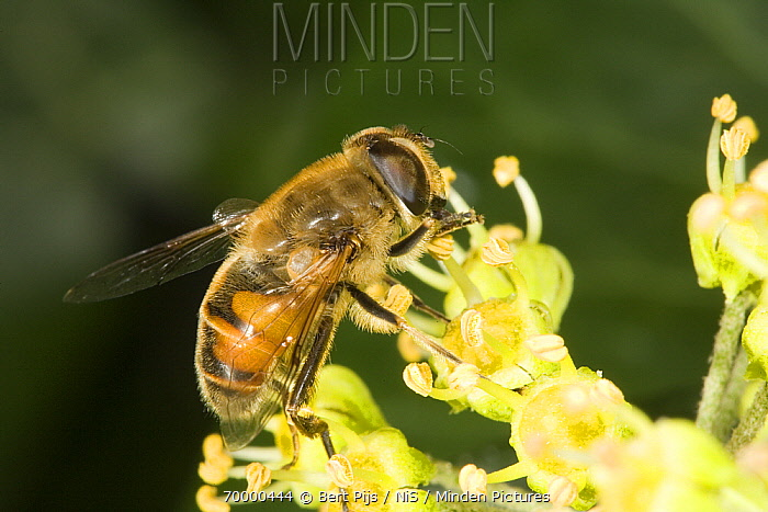 Drone Fly (Eristalis tenax) feeding on blooming ivy, Den Helder, Noord-Holland, Netherlands  -  Bert Pijs/ NIS