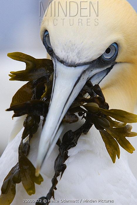 Northern Gannet (Morus bassanus) carrying seaweed nest material, Bass Rock, Scotland  -  Heike Odermatt
