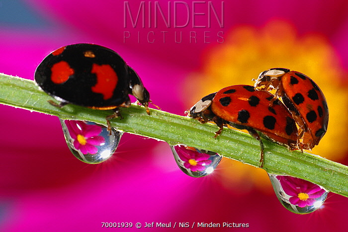 Asian Ladybird Beetle (Harmonia axyridis) pair mating on flower stock  -  Jef Meul/ NIS