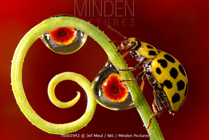 22-spot Ladybird (Psyllobora vigintiduopunctata) on curled stalk with waterdrops reflecting flowers  -  Jef Meul/ NIS