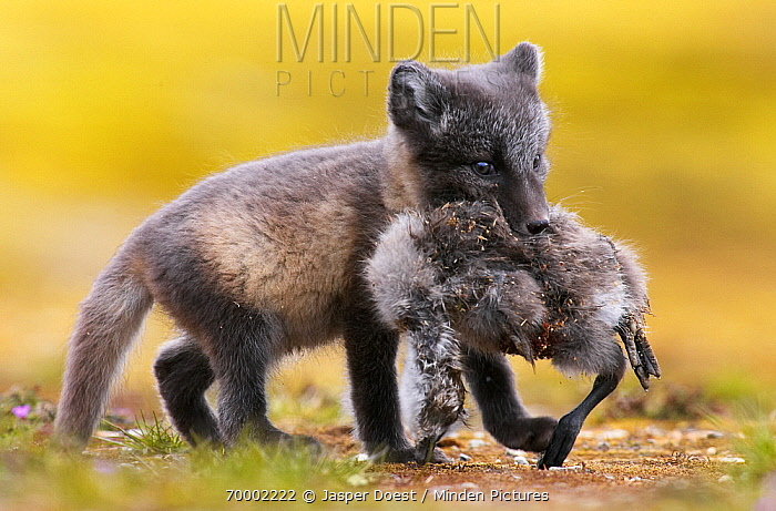 Arctic Fox (Alopex lagopus) kit with dead bird, Svalbard, Norway, Arctic  -  Jasper Doest