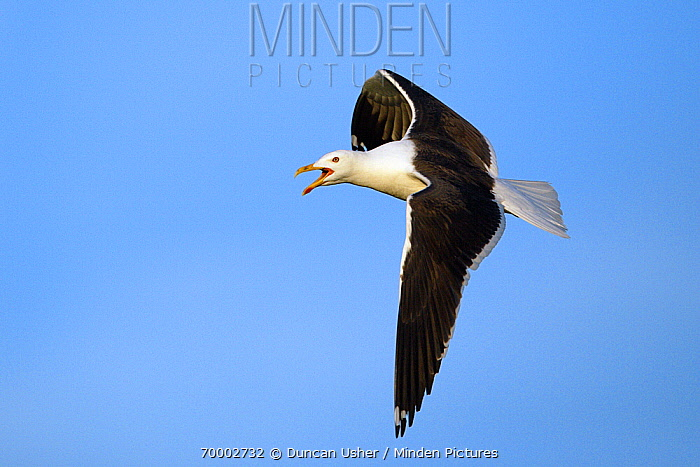 Great Black-backed Gull (Larus marinus) flying, Texel, Holland, Netherlands  -  Duncan Usher