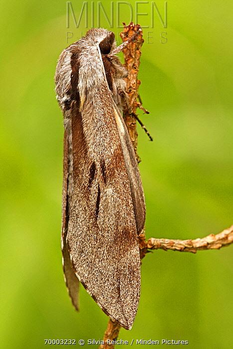 Pine Hawk-moth (Sphinx pinastri), Eifel, Germany  -  Silvia Reiche