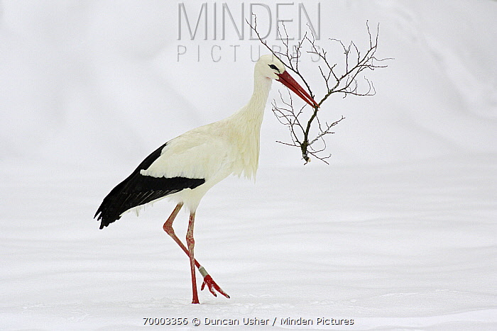 White Stork (Ciconia ciconia) walking through snow with nest material, Bavaria, Germany  -  Duncan Usher