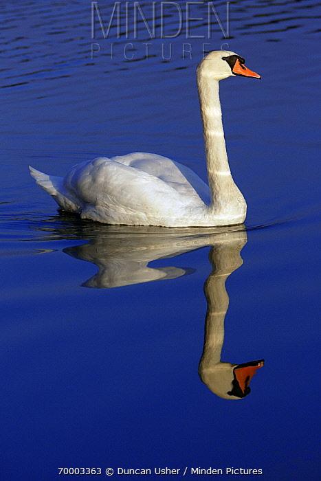 Mute Swan (Cygnus olor) swimming, Lower Saxony, Germany  -  Duncan Usher