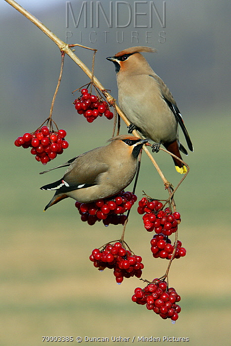 Bohemian Waxwing (Bombycilla garrulus) pair perched on a Guelder Rose (Viburnum opulus), Lower Saxony, Germany  -  Duncan Usher