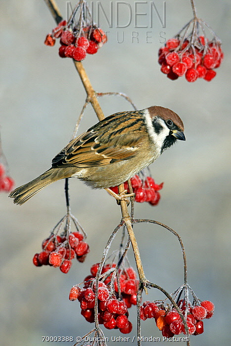 Eurasian Tree Sparrow (Passer montanus) male perched on a Guelder Rose (Viburnum opulus), Lower Saxony, Germany  -  Duncan Usher
