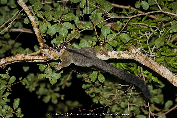 Fork-crowned Lemur (Phaner furcifer) hanging from a branch, Kirindy Forest, Menabe, Madagascar  -  Vincent Grafhorst