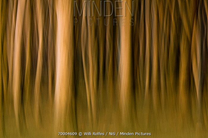 European Beech (Fagus sylvatica) abstracted trunks in forest, Nienhagen, Mecklenburg Vorpommern, Germany  -  Willi Rolfes/ NIS